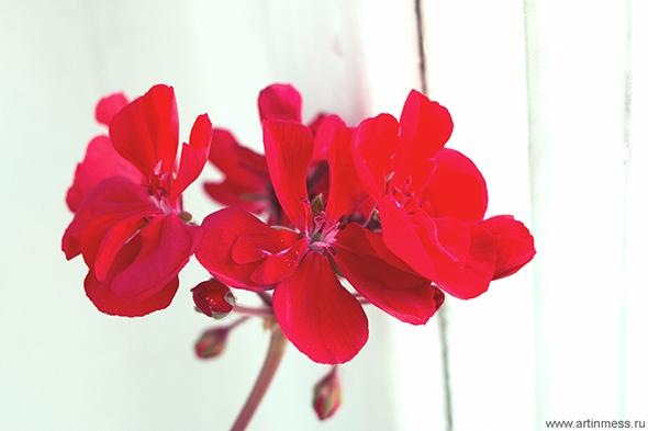 цветущая герань / blooming geranium