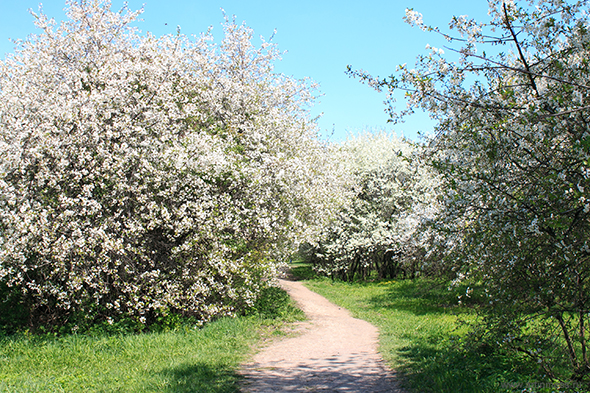 Весна в Коломенском фотография цветения яблони/ Spring in Kolomenskoe blooming flowers