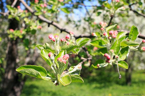 Весна в Коломенском фотография цветения яблони/ Spring in Kolomenskoe blooming flowersВесна в Коломенском фотография цветения яблони/ Spring in Kolomenskoe blooming flowers