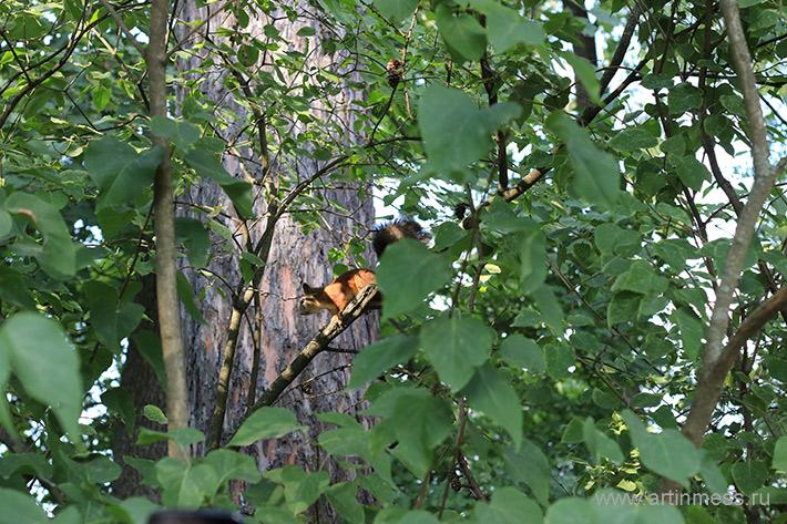 Белка в парке царское село пушкин Squirrel tsarskoye selo pushkin