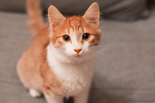 рыжий кот, котенок, kitten, cat